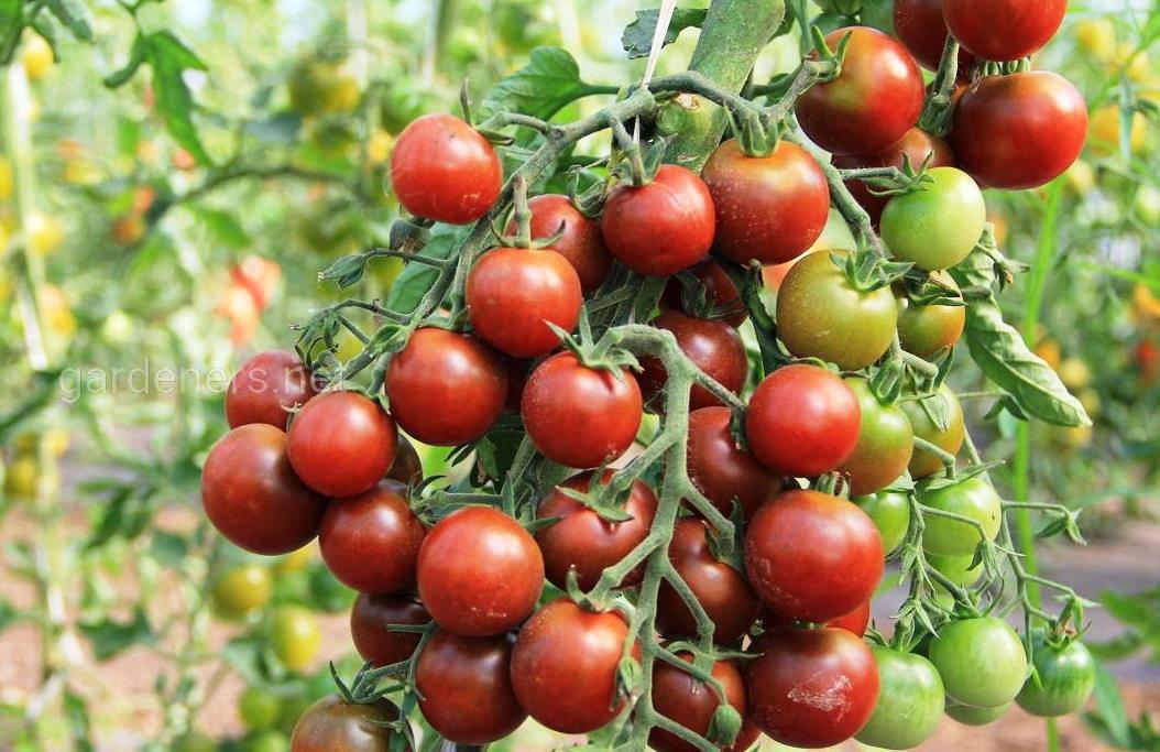 сорт томата Черный жемчуг
