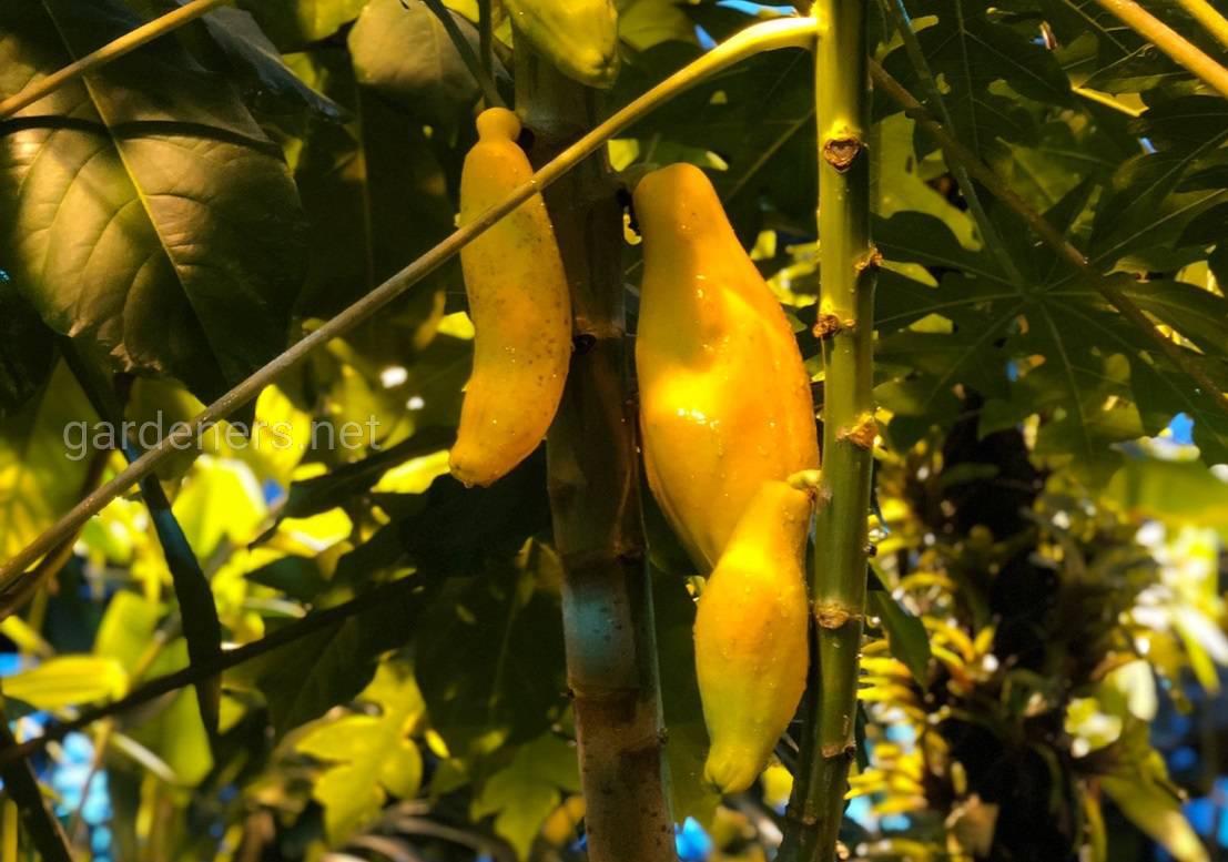 урожай папайи Москва