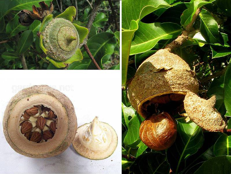 Лецитис (Райский орех, сапукайа)