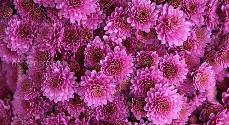 Самые популярные и красивые сорта хризантем