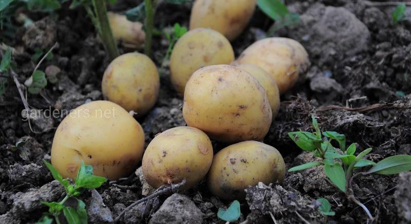 Когда следует собирать картошку?