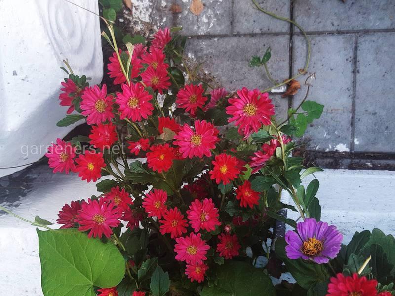 Хризантема — осіння троянда є прикрасою навіть у холодні дні