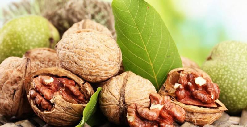 Як отримати високі врожаї волоського горіху?