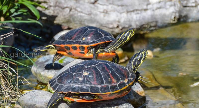 Пресноводные прудовые черепахи — популярные разновидности и требования к среде обитания
