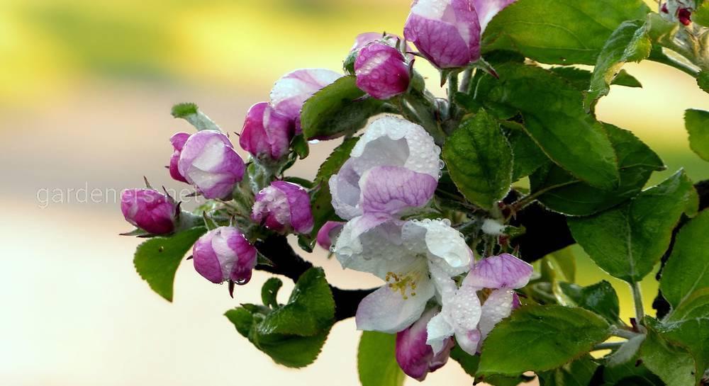 Агроном: Роялти – оригинальный декоративный сорт яблони в 2019 году