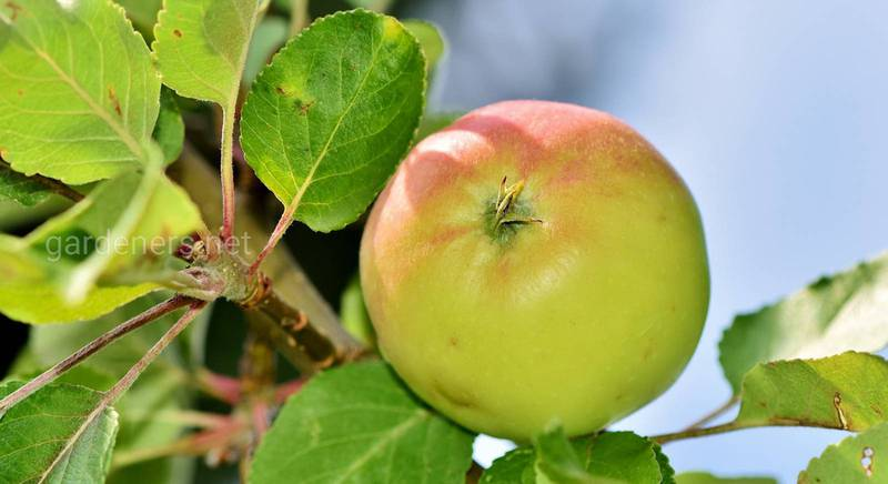 Як омолодити стару яблуню