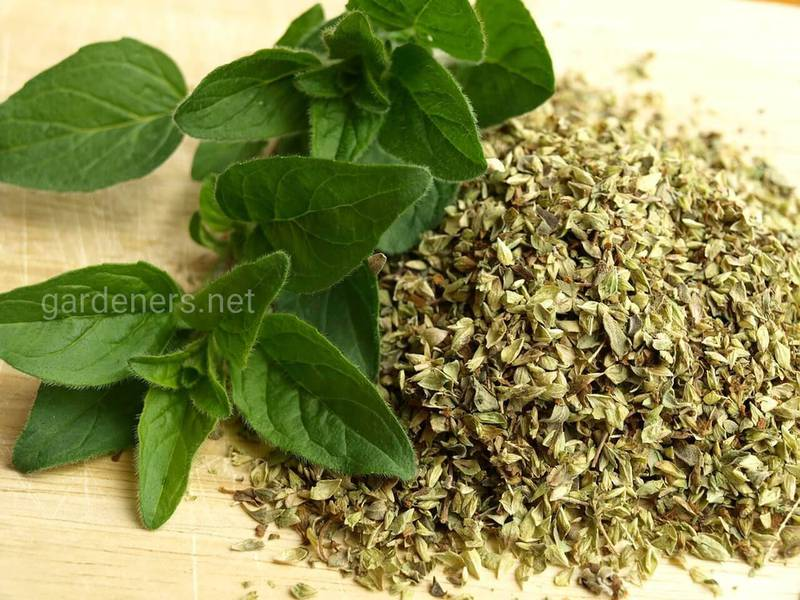 Як приготувати чай, сік, настоянку і мазь з майорану та при лікуванні яких захворювань використовуються?