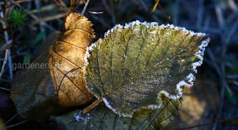 Укрытие растений: зимняя защита сада и цветника