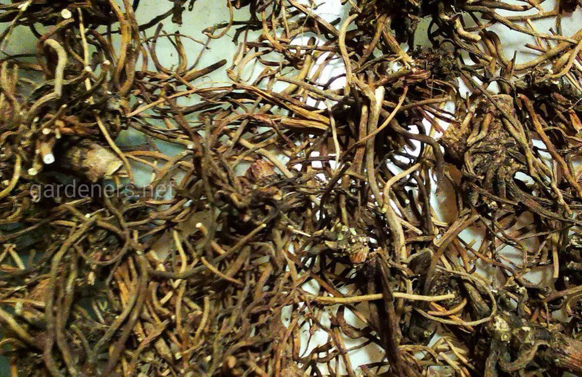 корень валерианы лекарственной