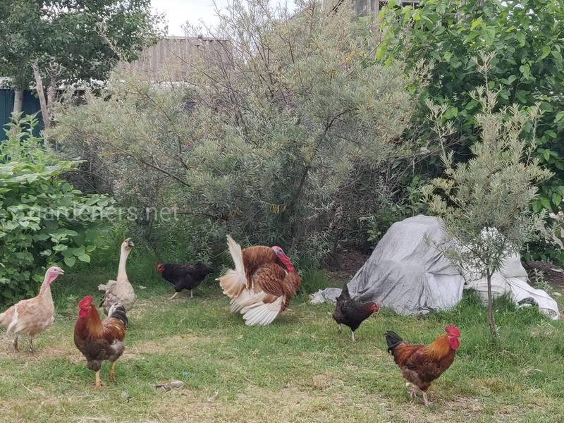 Как бороться с красным куриным клещом?