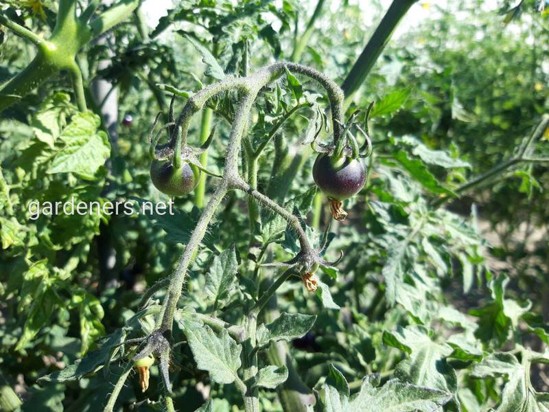 Як вирощують та використовують кумато(чорний помідор)?