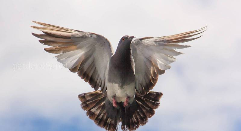 Чим годувати домашніх та вуличних голубів: заборонені та дозволені продукти