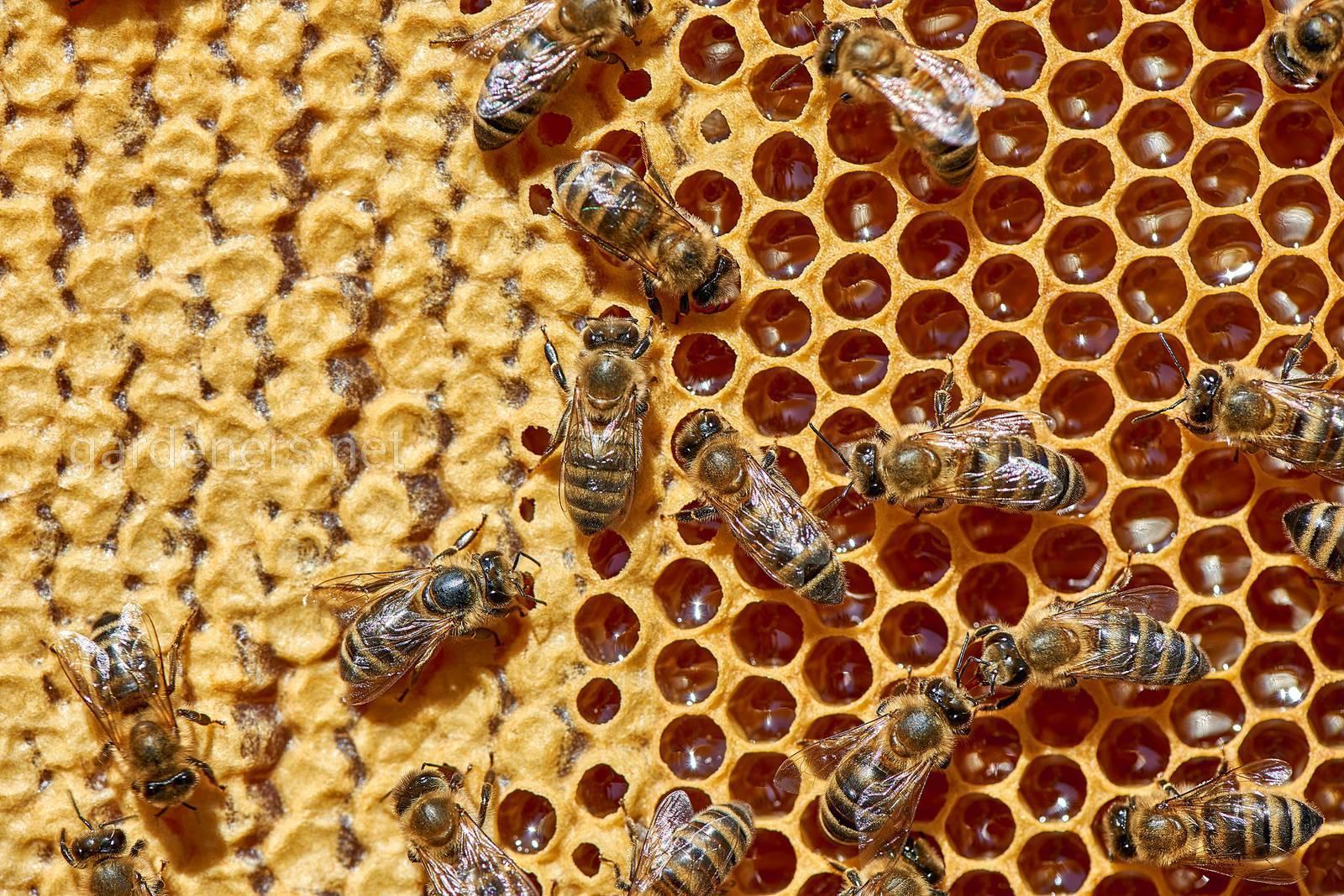 Пчелы на сотах__@alena_chaicova