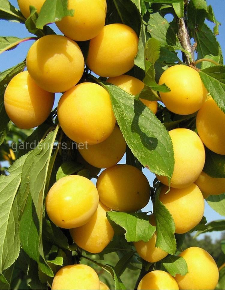 Сорт желтой сливы Яхонтовая