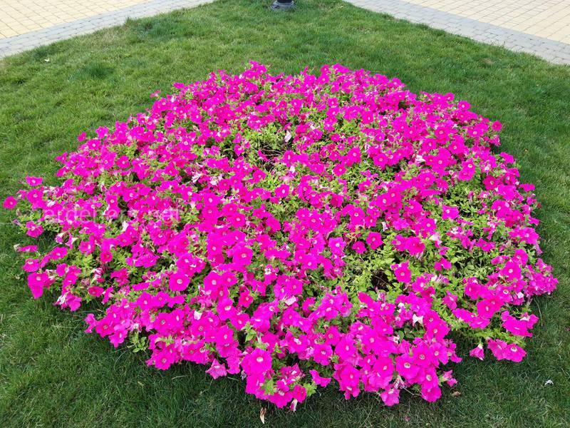 Клумба с розовой петунией