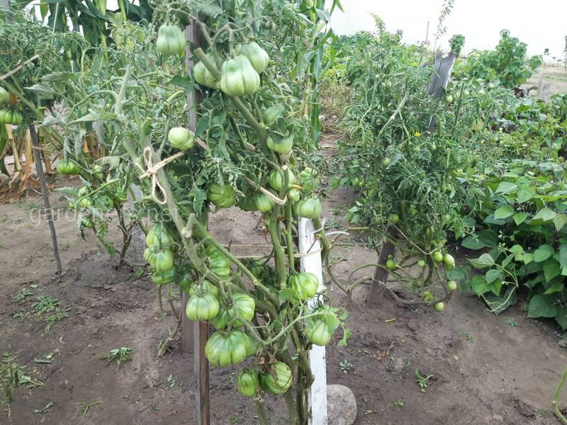 Когда собирать и как хранить недозревшие плоды помидоров?