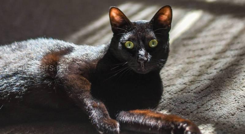 10 порід котів, які насправді дуже люблять, коли їх гладять