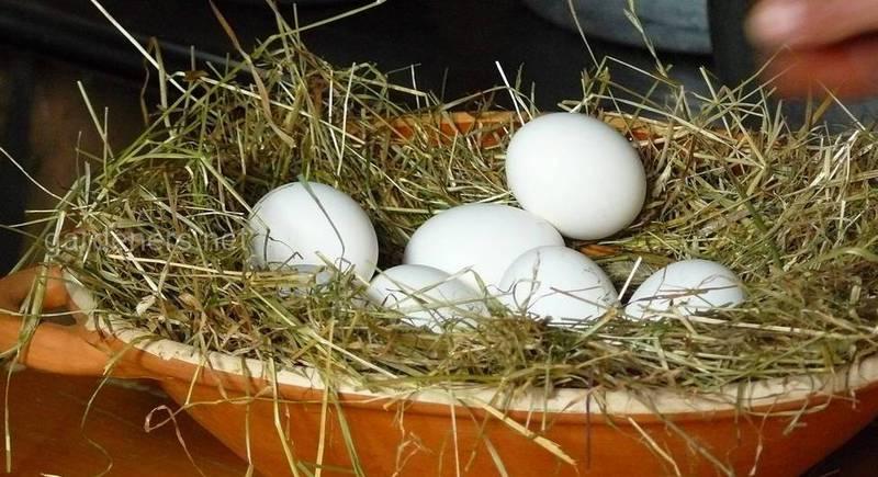Правила инкубации утиных яиц в домашних условиях