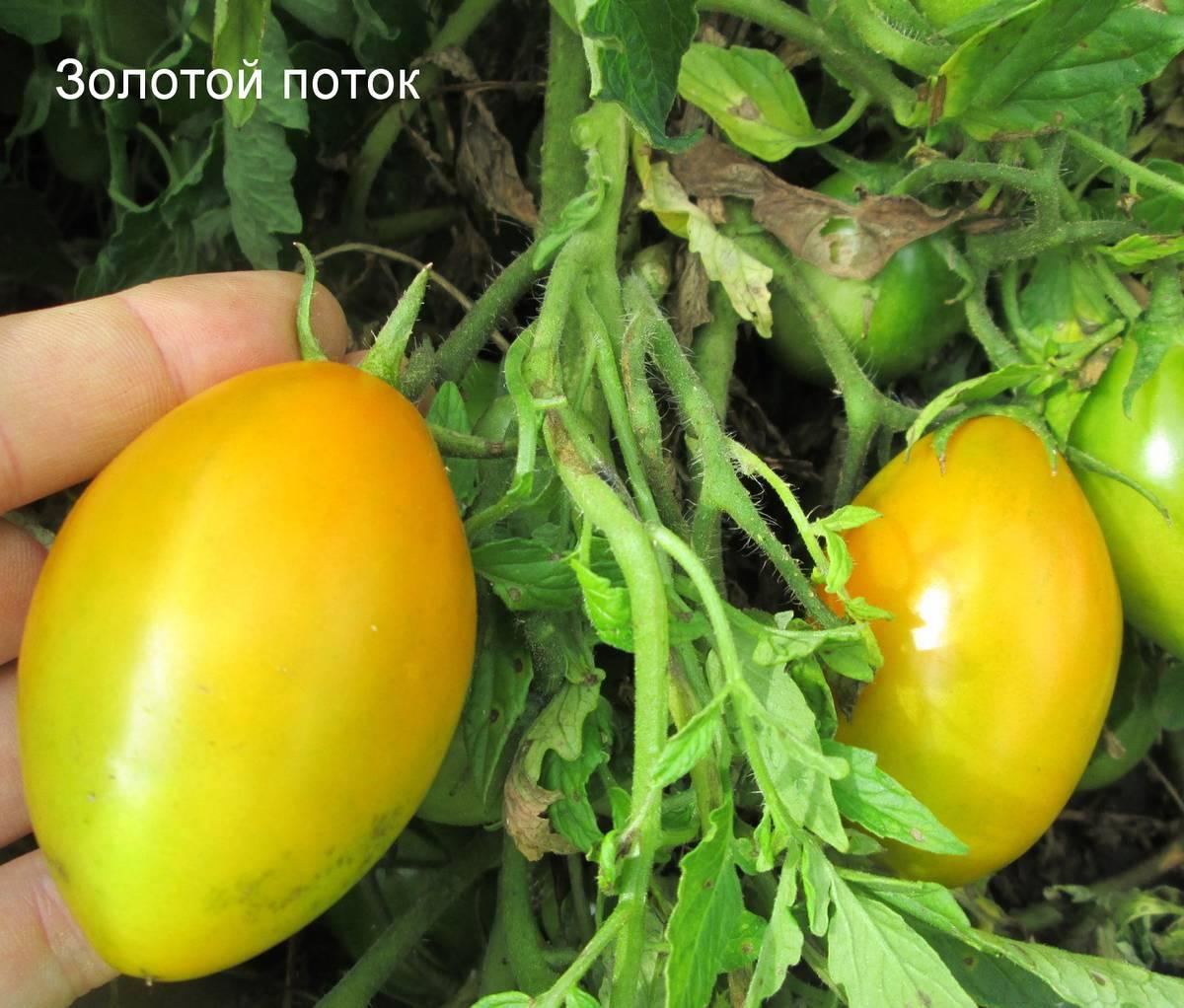 Сорт томата Золотой поток