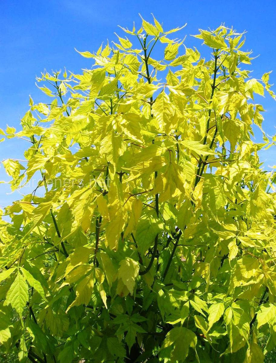 Клён ясенелистный жёлтый