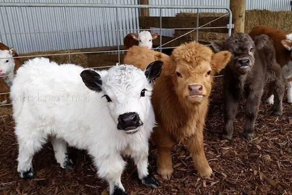 Коровы породы хайленд