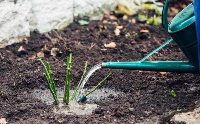 Когда лучшее время для посадки роз и как подготовить землю?