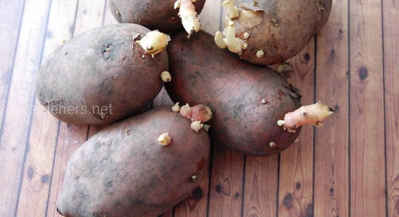 Подготовка картофеля к посадке.jpg