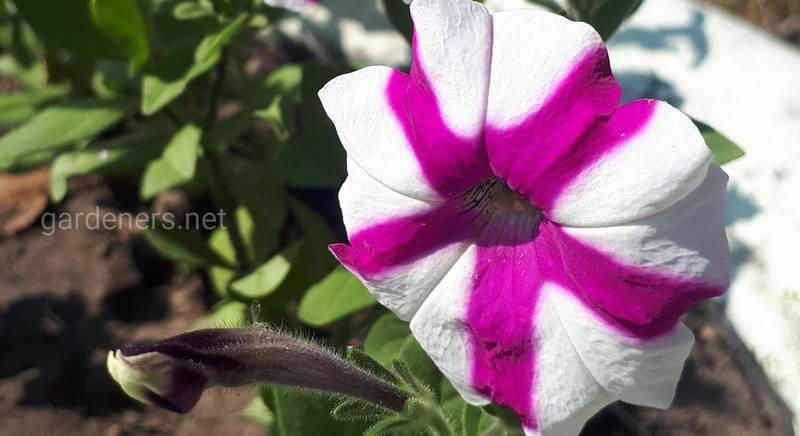 Ампельная петуния Littletunia Bicolor Illusion (вегитативный вид)