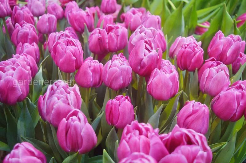 Якого кольору прийнято дарувати тюльпани