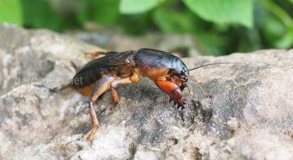 mole-cricket-1260754_1920