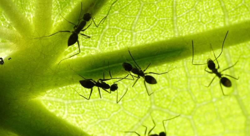 Польза и вред от муравьев
