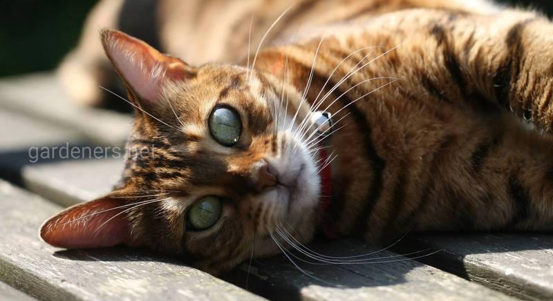 Вибираємо породу кота для розведення: яка краще