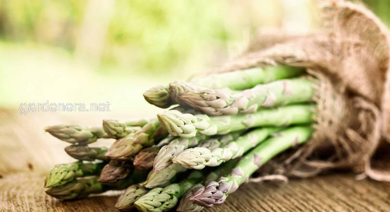 Полезные и лечебные свойства спаржи лекарственной (Asparagus officinalis)