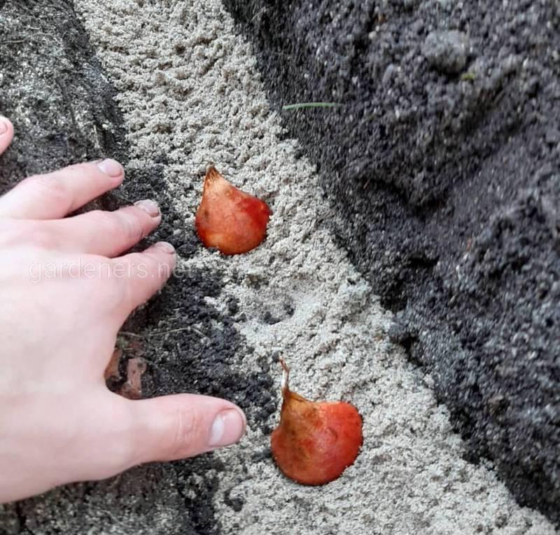 Когда лучше высаживать осенние луковицы цветов?