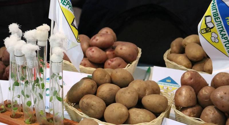 сорта картопплі Української селекції.JPG