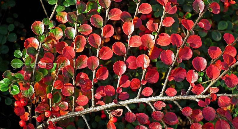 Кизильник: одна з кращих рослин для живої огорожі