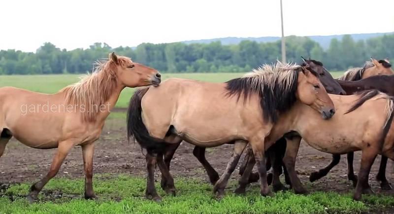 Бакширская лошадь
