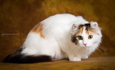 Американский керл кот