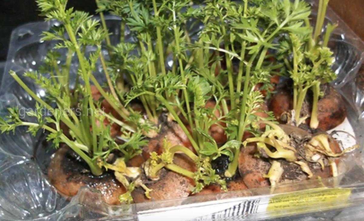 морковь выращиваем дома