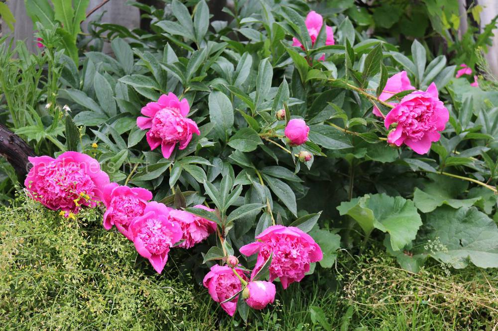 Пион – удивительной красоты цветок