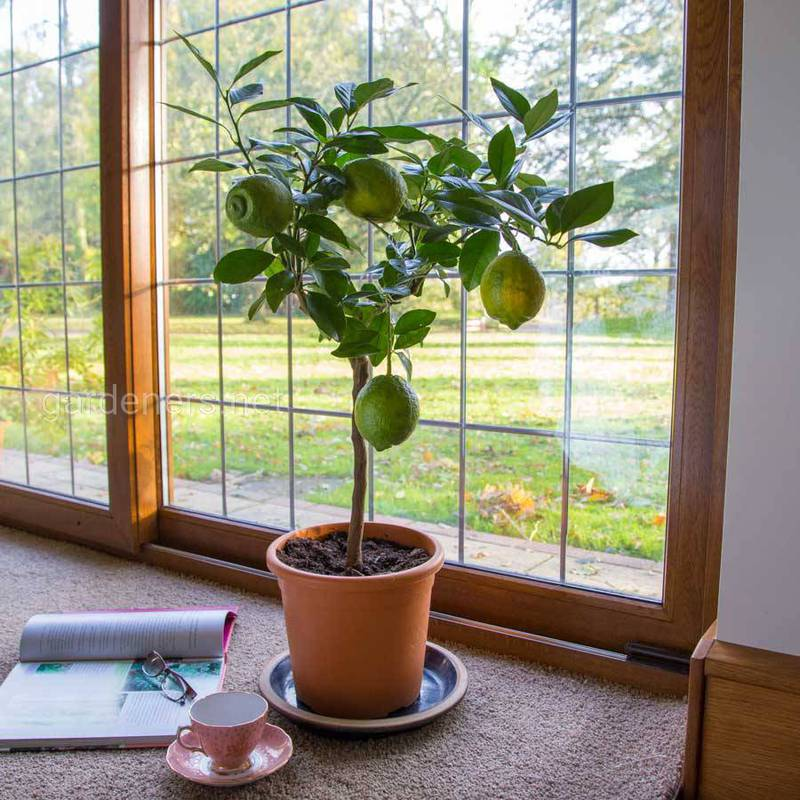 Як вирощувати інжир та лимон в домашніх умовах?