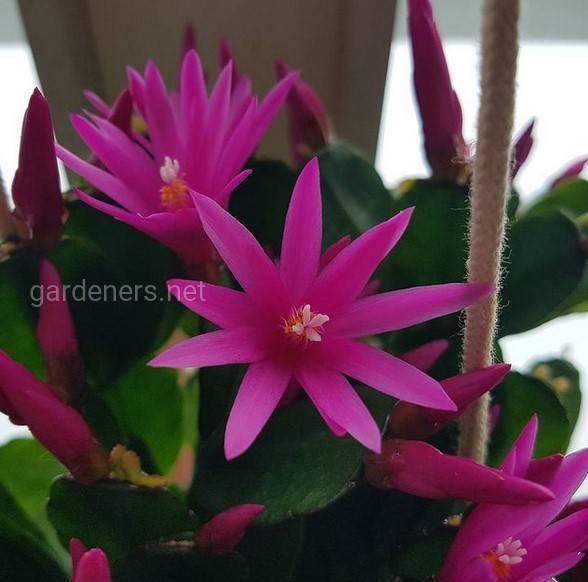 Пасхальный кактус: весенний цветок, не требующий особого ухода