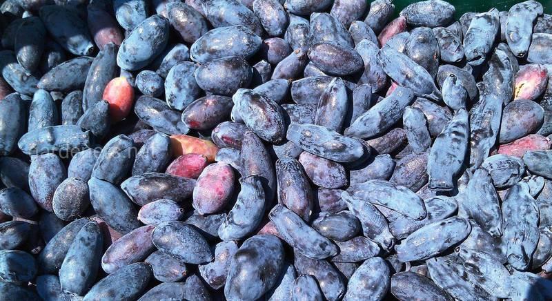 Сорта самой ранней витаминной и вкусной ягоды – жимолость голубая
