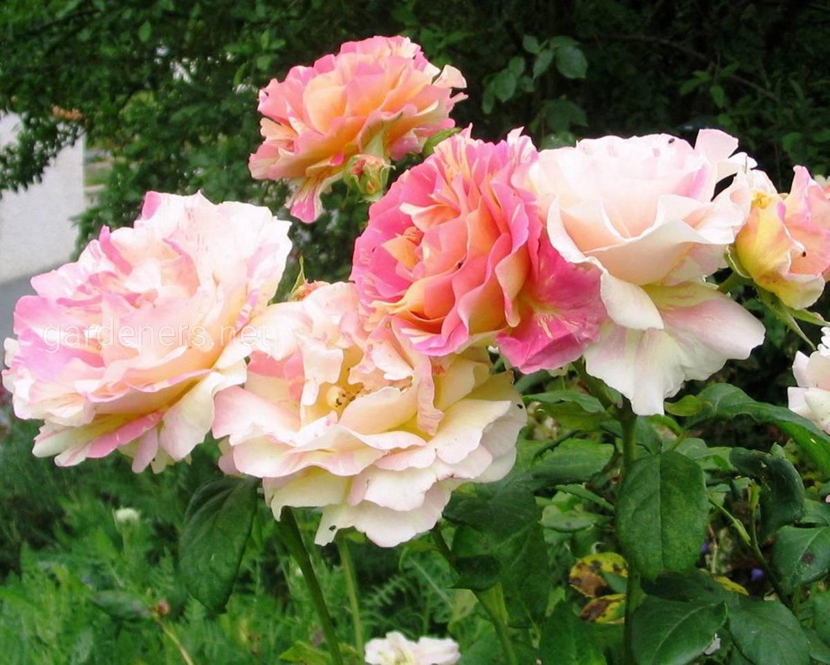 Сорт штамбовой розы Клод Моне