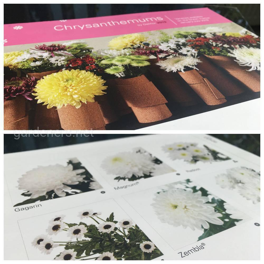 черенки хризантем от «Deliflor» (2)