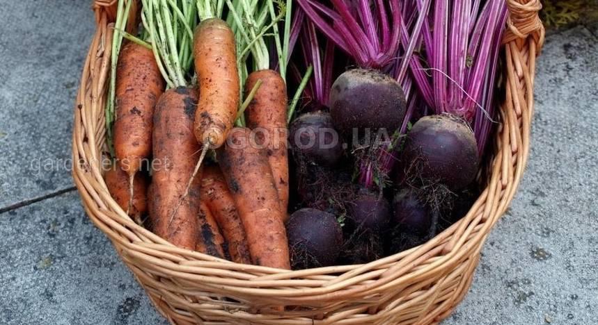 Когда и как копать морковь и свёклу