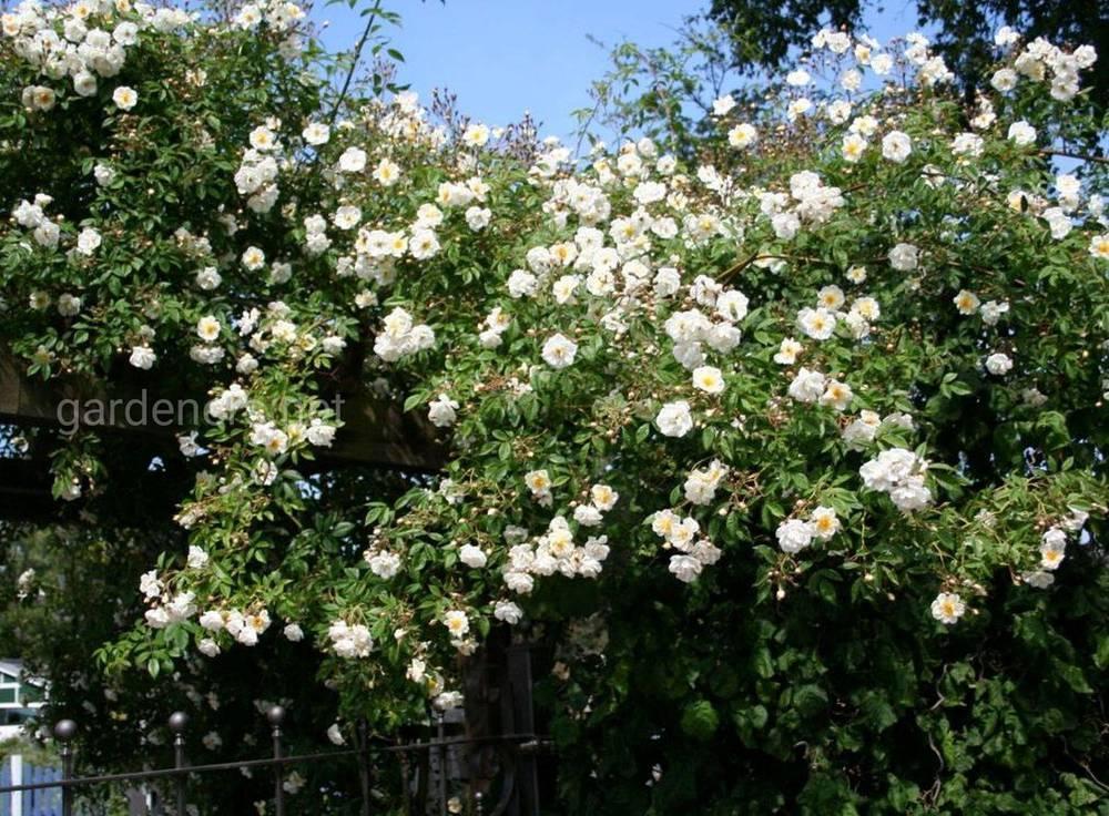 роза Bobby James