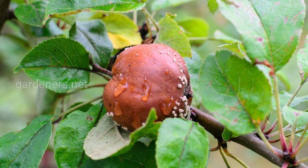 яблоки гниют на ветках