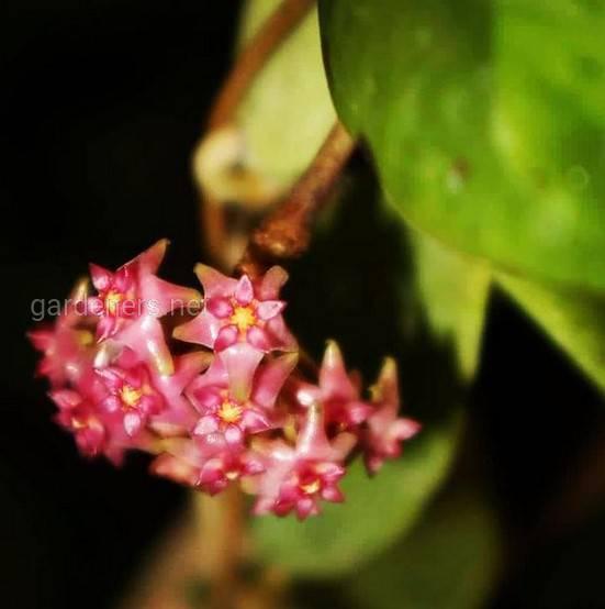 Hoya skinneriana
