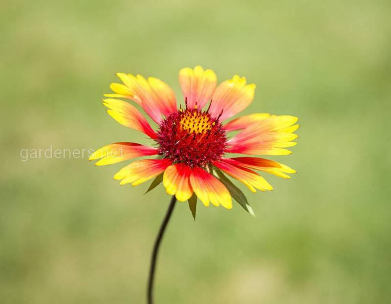 Гайлардия - милое цветущее растение, которое привлекает полезных насекомых в сад!